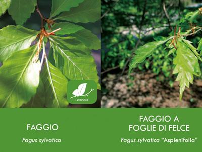 FAGGIO & FAGGIO a FOGLIE di FELCE