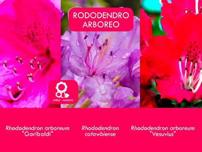 RODODENDRO ARBOREO