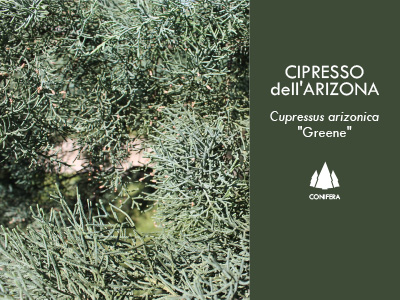 CIPRESSO dell'ARIZONA