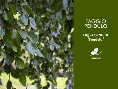 FAGGIO PENDULO