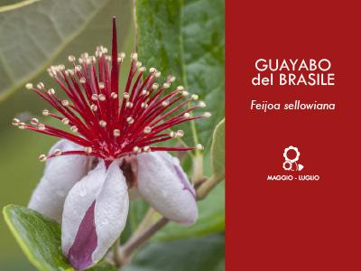 GUAYABO del BRASILE